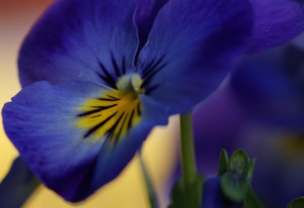 Wandbild Stiefmütterchen blau-gelb (Motiv HF29)