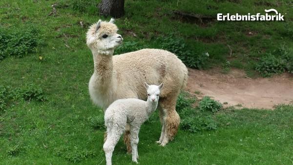 Alpaka Wanderung für Zwei bei Hohenstein Ernstthal