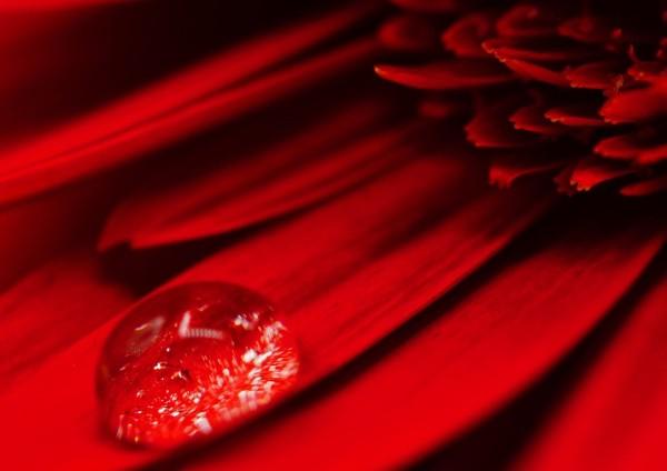 Wandbild Rote Gerbera mit Wassertropfen (Motiv HF11)