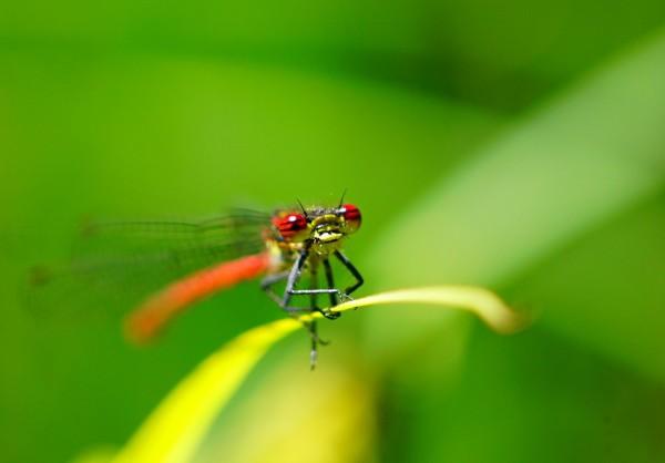 Wandbild Libelle mit roten Augen (Motiv HF19)